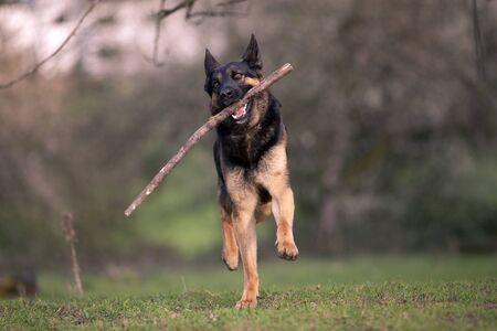 bring: german shepherd dog play and bring back branch Stock Photo