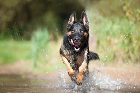 German Shepard dog play and run in water