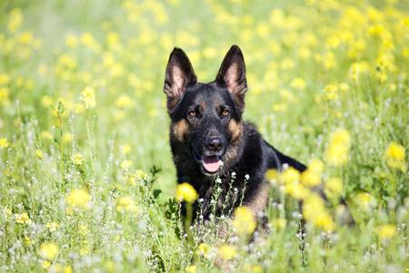 German Shepard dog sit in yellow flower field portrait