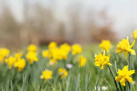 daffodil easter flowers on meadow background