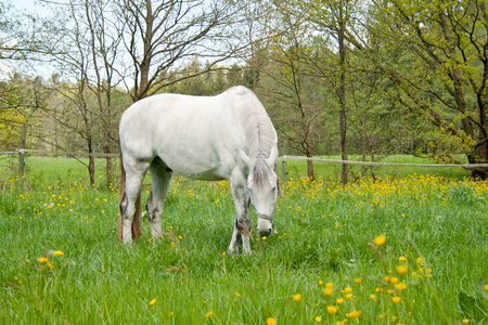 white horse in meadow with lots of flowers grazing Stock Photo