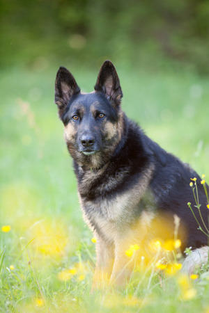 beautiful german shepard dog sit in meadow with bright yellow flowers