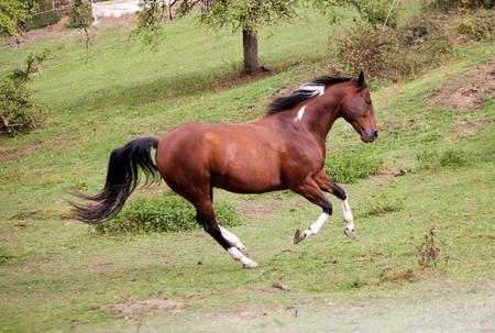 bonte paard pinto gekleurde galopp krachtige vrij in weide. Zijaanzicht. Zomer met felle kleuren Stockfoto