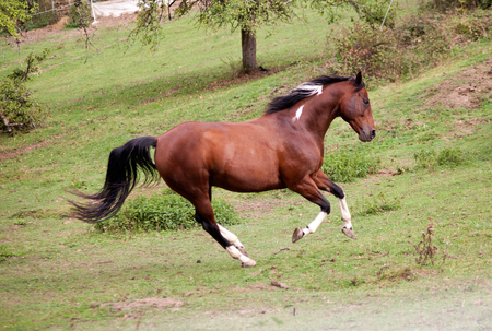 pied horse pinto colored galopp powerful free in meadow. Side view. Summer with bright colors Stock Photo