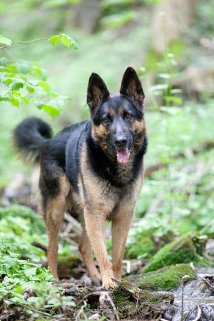 german shepherd dog in forest frontal view
