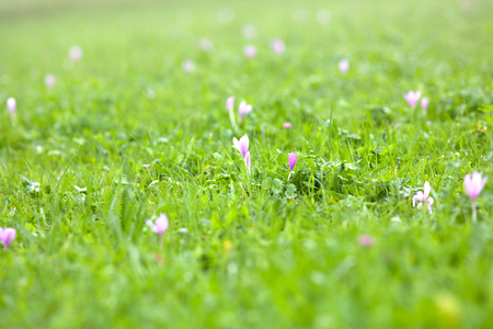 autumn crocus [Colchicum autumnale]on the grass Stock Photo
