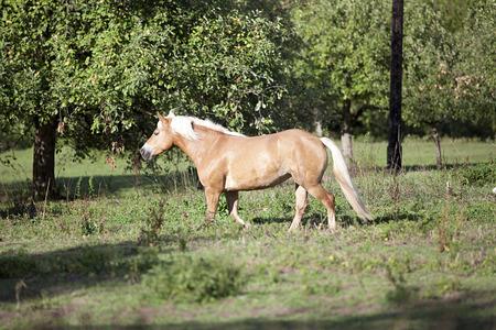 haflinger horse run free outside