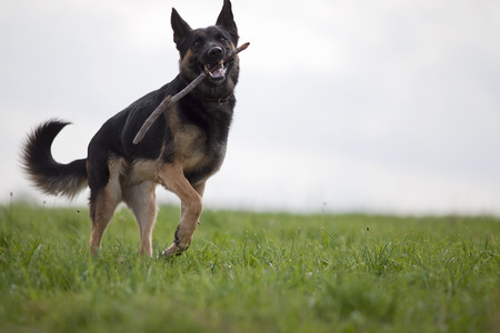 A black dog purebred German shepherd play and apport branch in meadow Stock Photo
