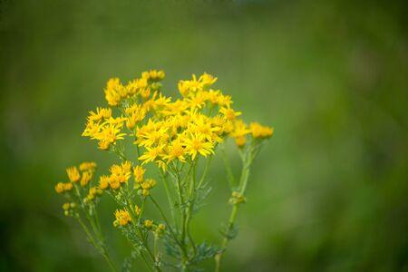 Jacobaea vulgaris, Senecio jacobaea, ragwort, common ragwort Фото со стока