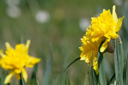 daffodil easter flowers background