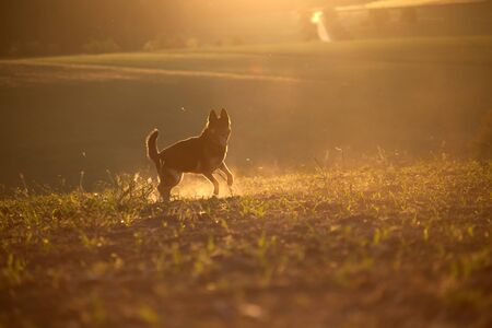 Dog in sunset with backlight run free in field Reklamní fotografie