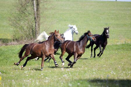 Paard galoppeert vrij buiten op weide