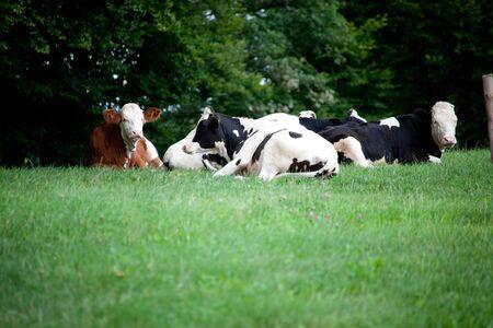 Gruppenkühe auf Wiese, Kühe und Kalbporträt hautnah. Schlafende Kühe im Sommer