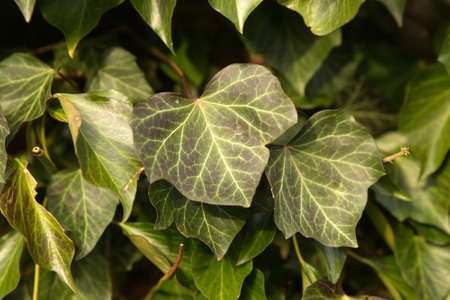 Ivy Hedera helix 'WOERNER' on tree,