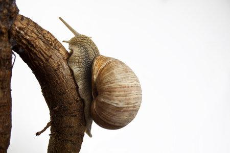 Roman snail isolated Helix pomatia Stock Photo