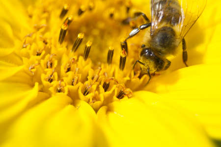 Macro Close Up Bee collecting nectar in bright yellow sunflower