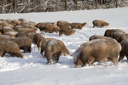 Many sheep in winter meadow