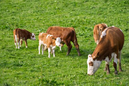 Free cow in meadow outdoors with baby calf