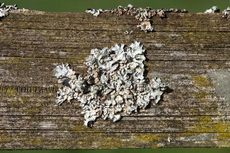 lichen on wood. Parmelina pastillifera