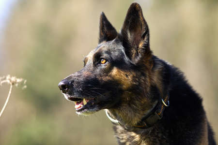 German Shepard dog in meadow portrait