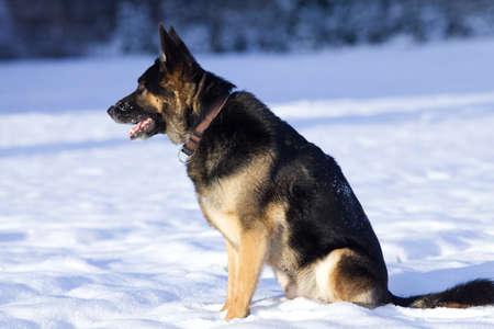 German Shepherd Dog in winter play in snow field