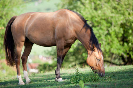 Criollo Horse breed run free in meadow under green trees