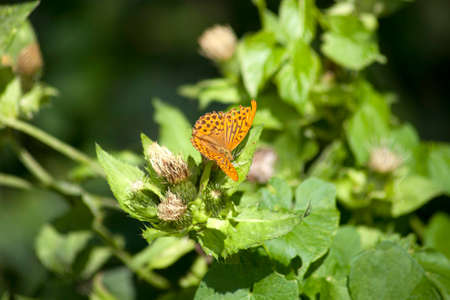 Silver-washed fritillary, Argynnis paphia butterfly