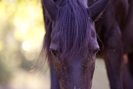 horse with lots of fly in face Stock Photo