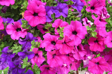 colorful petunia flowers in summer garden Stock Photo