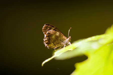 butterfly speckled wood (Pararge aegeria) sit on leaf