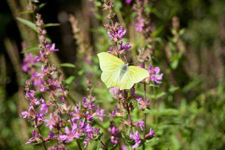 common brimstone - Gonepteryx rhamni yellow butterfly