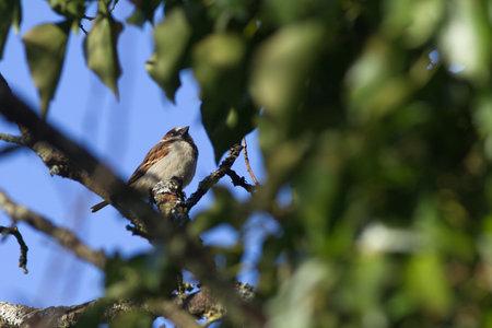 house sparrow bird in tree (Passer domesticus)