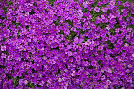 Aubrieta plant with purple small blossom grow in stone garden