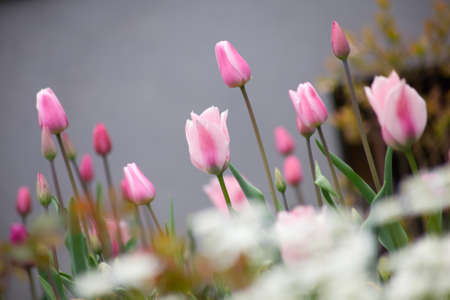 tulip flowers in garden with bright colors Stock Photo