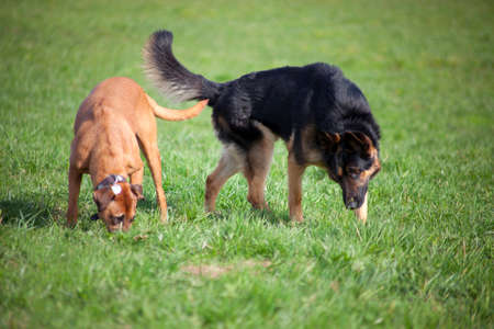 Two dogs in park play together Stock Photo