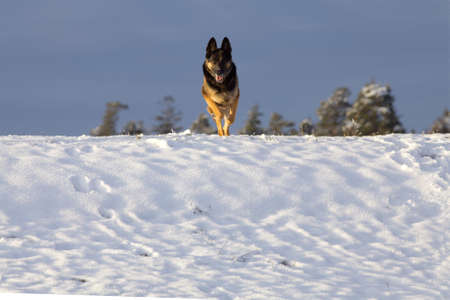 Dog run frontal in snow. Winter activity with german shepherd dogs