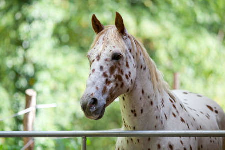 Appaloosa Horse with spots portrait. White color with brown spots