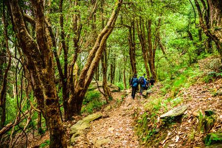 rekkers with backpack traversing through tropical evergreen forest trail in Himalayas mountains during trekking to Prashar lake trekk near Manali, Mandi, Himachal Pradesh, India.