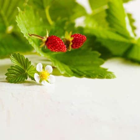 'wild strawberry: Wild strawberry