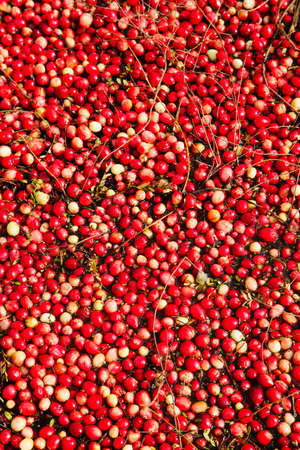 Ripe Cranberries floating in the lagoon during harvest in the Muskoka Lakes area, Ontario, Canada