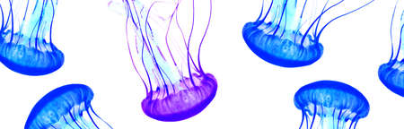 Blue jellyfish isolated on white background, copy space