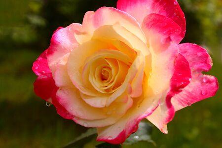 yellow roses: rosas amarillas en el jard�n