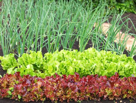 seed bed: garden bed of lettuce and onions