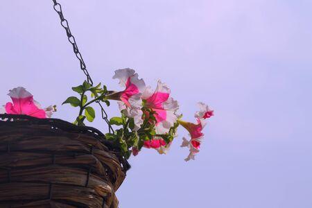 lobelia: petunia, summer, basket, flowers