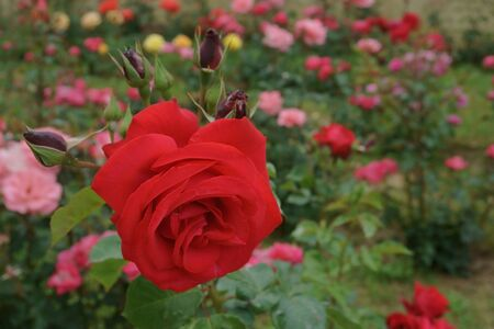 Beautiful roses in the garden
