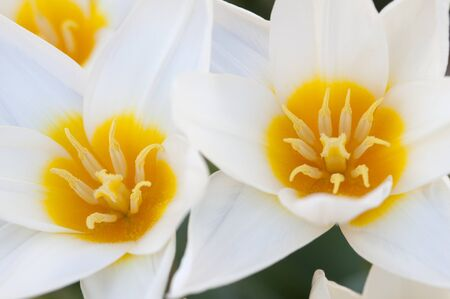 belongs: The tulip is a perennial, bulbous plant with showy flowers in the genus Tulipa, or-which around 75 wild species are hrt accepted1 and-which belongs to the family Liliaceae Stock Photo