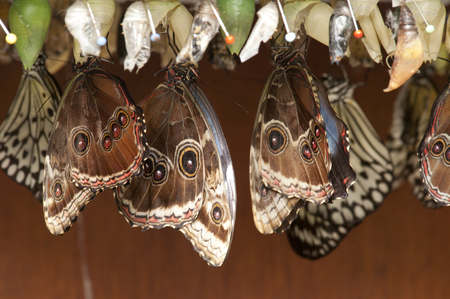 pupae: pupa with butterflies hanging in cascet