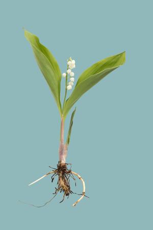 raices de plantas: Lirio de la vendimia del valle con las raíces Foto de archivo