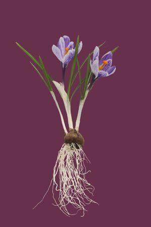 raices de plantas: Azafrán con bulbo en el fondo de la vendimia