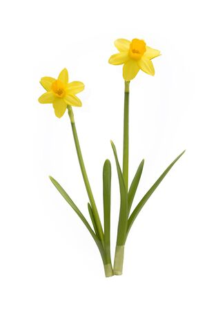 narcissist: two daffodils isolated on white background